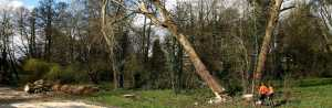Two Artemis Tree Services surgeons tree felling from a distance