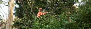 Artemis Tree Services pruning unwanted branches to complete tree maintenance
