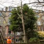 Tree surgeons trimming excess branches from a tree
