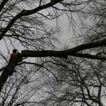 A tree surgeon in a harness cutting tree limbs