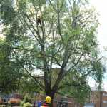 Tree surgeons at work for Artemis Tree Services