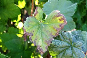 Anthracnose tree disease as seen on the leaf