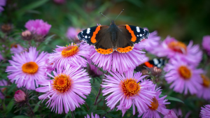 red admiral butterfly on pink flowers