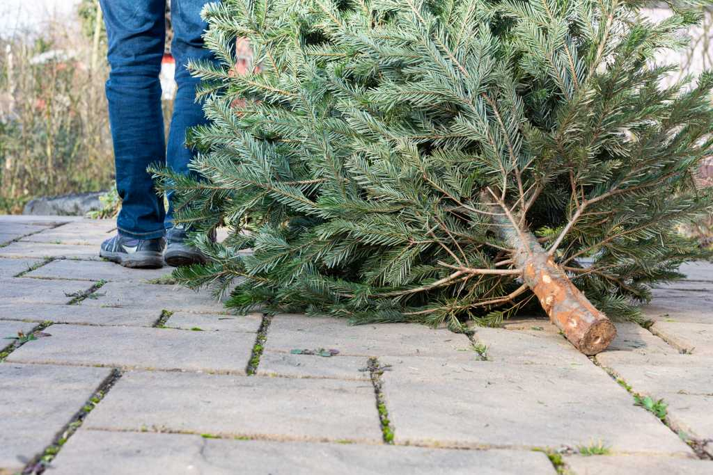 cut down Christmas tree